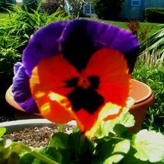 Love my purple and orange pansies