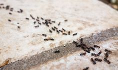 Carpenter ants and termites have a lot more in common than most people would think when it comes to pest control. Kitchen Ants, Ant Removal, Ant Problem, Ants In House, Get Rid Of Ants, Pest Solutions, Red Chili Powder, Garden Pests, Bagels