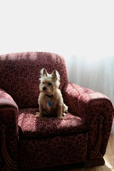 Maudjesstyling: Cairn Terrier on a plum art deco chair. Cute Puppies, Cute Dogs, Dogs And Puppies, Cairns, Terrier Dogs, Cairn Terriers, Terrier Breeds, West Highland Terrier, White Terrier