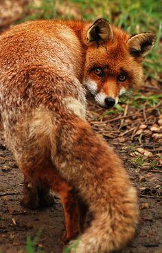 memphis: British Red Fox by Chris Gilligan on Flickr.