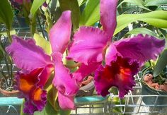 Orchids at Orchid World & Tropical Flower  Garden in the Caribbean island of Barbados