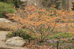 Witch hazel tree Jelena for flowers in February.  Jelena with its copper colored flowers really brighten up winter landscape.