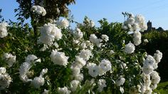 """Roses """"Iceberg"""" nearby the swimming pool at Villa le Barone in Chianti"""