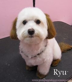 """The newer Japanese grooming styles that emphasize a dogs """"cuteness"""" rather then the typical breed standard groom"""