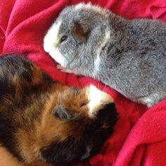 Söndagsmys i sängen med mina favoritpojkar  #guineapigs #guineapig by bellabellaelabellalla