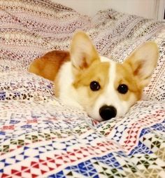 These are the sweetest dogs.  I love Corgis.