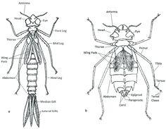 Výsledok vyhľadávania obrázkov pre dopyt Libellulidae dragonfly nymph