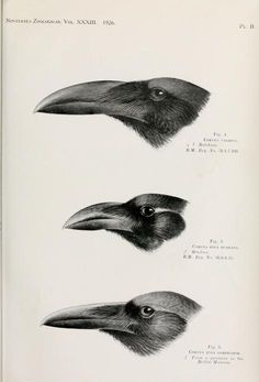 "design-is-fine: "" H. Grönvold, Heads of the Genus Corvus, from the magazine Novitates Zoologicae, volume England. Via BioDivLib "" Crow Art, Raven Art, Bird Art, Black Feathers, Bird Feathers, Jackdaw, Crows Ravens, Anatomy Art, Bird Drawings"