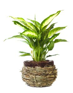When the only major potential problem with a plant is over-moisturizing it, you know you've got a winner. The large and beautiful dieffenbachia can be the perfect plant for your home or office. It's relatively adaptable to different kinds of lighting and conditions which might not be expected for a traditional houseplant to thrive. Make sure to give it diffuse lighting and you'll be well on your way to caring for a healthy plant for years.