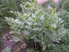 Margit2 honlapja - Fűszer és gyógynövények