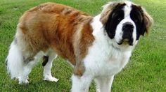 As 25 raças mais perigosas de cachorro - IDEAGRID - São Bernardo