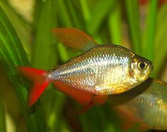 Колумбийская (сапфировая) тетра / Blue-red Colombian Tetra / Hyphessobrycon columbianus #тетра #рыба