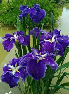 Beautiful purple Iris flowers for you 💜 Purple Flower Names, Purple Iris Flowers, Flowers Nature, Amazing Flowers, Beautiful Flowers, Daffodils, Tulips, Purple Garden, Iris Garden