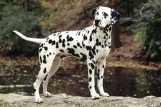 Dalmatian Dog Breed Information, Facts, Wallpapers, Poll -Dalmatian Dog Breed http://dogbreedersguide.com/11469/dalmatian-dog-breed-information-facts-wallpapers-poll