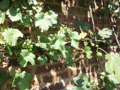 Edible grapes ripen on vine trained to the south facing wall.