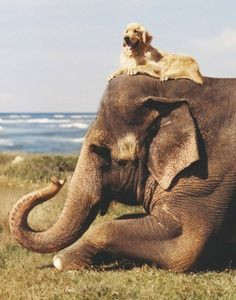 Golden Retriever Dog Sitting atop an Elephant that is resting. . Elephants and Golden Retrievers - both the best animals ever!