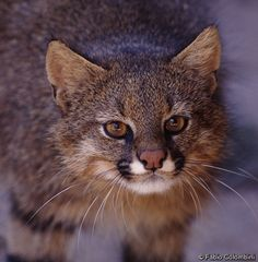 Pampas Cat- a small wild feline native to southwestern grasslands of South America