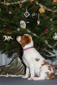 Adorable Little Brittany Spaniel Puppy Looking forward to her First Christmas Baby Dogs, Pet Dogs, Dogs And Puppies, Doggies, Christmas Animals, Christmas Cats, Brittney Spaniel, Brittany Spaniel Puppies, Dog Best Friend