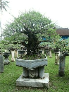 It's sad how the most amazing bonsai can only be called a stunted tree when it reaches a truly enormous size. Amazing trunk girth with balanced and natural branch placement. Bonsai Plants, Bonsai Garden, Japanese Bonsai Tree, Maple Bonsai, Plantas Bonsai, Bonsai Styles, Acer Palmatum, Art Japonais, Miniature Trees