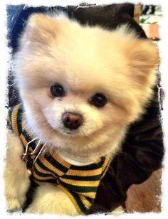 A cute Pomeranian Pup from San Fran