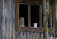 Old friend (Ural owl) #owl