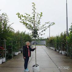 Acer davidii George Forrest | Snake Bark Maple | Buy Acer Trees