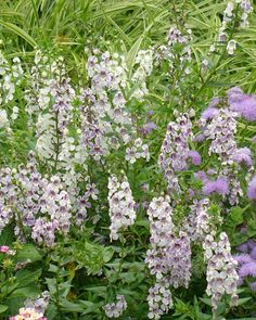 Angelonia is deer resistant. ...here Angelonia wedgewood blue is mixed with ageratum Artist's Blue ( and lantana, another deer resistant flower).