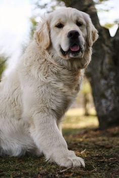 See more English Golden Retriever ~ Swissridge