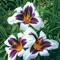 """Wild Horses Daylily. The 5-6"""" blooms open abundantly in early summer and again in late summer on strong stems only 30-37"""" tall. Quite easy to grow; tolerant of heat, cold and even drought. Zones 3-9."""