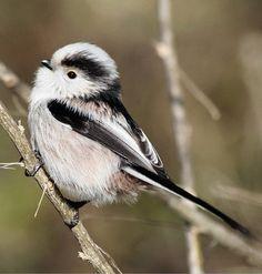 Codibugnolo ~ perhaps the cutest bird I've ever seen.