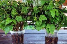 O picătură de iod și nu-ți vei recunoaște grădina! Acesta este un remediu împotriva fitoftorozei, mucegaiului alb și dăunătorilor. - Fasingur Salvia, Colorado, Herbs, Plants, Gardens, Aspen Colorado, Sage, Outdoor Gardens, Herb