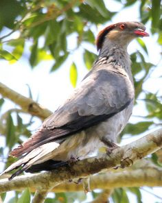 """The Topknot Pigeon (Lopholaimus antarcticus) is a pigeon native to Australia. It is also known by the name of """"Flock Pigeon"""". by onlyruff, via Flickr"""