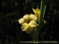 Imágen de Sisyrinchium striatum (Huilmo amarillo / Ñuño). Haga un clic para aumentar parte de imágen.