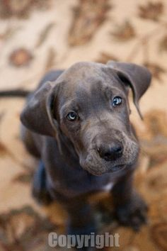I want one. Great Dane at 8 weeks old!