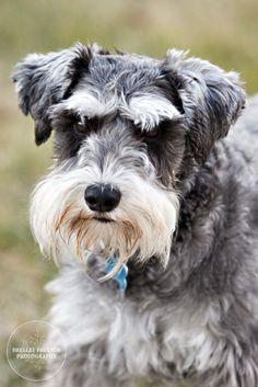 #Miniature #Schnauzer #Puppy #Dogs