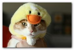 Meow or quack (or peep).  That is, indeed, the question.