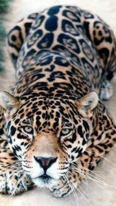 Beautiful Leopard! More