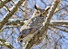 With its long, earlike tufts, intimidating yellow-eyed stare, and deep hooting voice, the Great Horned Owl is the quintessential owl of storybooks. This powerful predator can take down birds and mammals even larger than itself, but it also dines on daintier fare such as tiny scorpions, mice, and frogs. It's one of the most common owls in North America