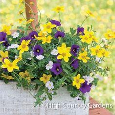 Set of 3 Trio planted pots includes Bacopa Big Pearl Falls, Bidens Namid™ Compact Yellow and Calibrachoa MiniFamous™ Dark Blue.