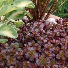 Herb robert geranium robertianum plantes m dicinales for Jardin gris voodoo