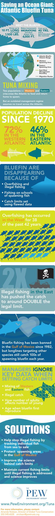 Atlantic Bluefin tuna infographic from Pew
