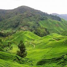 Tea Plantation, Cameron Highlands, Pahang Malaysia