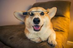 A Corgi wearing Google Glass - Imgur 'Cause Corgis are so cutting edge.
