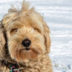 "It's been a while since your goldendoodle's last grooming appointment, and she's beginning to resemble Chewbacca. It's cold outside and she's not quite ready for a full groom, but poor Chewie can hardly see. How do you groom a goldendoodle's face? Don't worry! It's easy. You can do it! First, gather your blunt tipped scissors … Continue reading ""How To Trim A Goldendoodle's Face Yourself"""