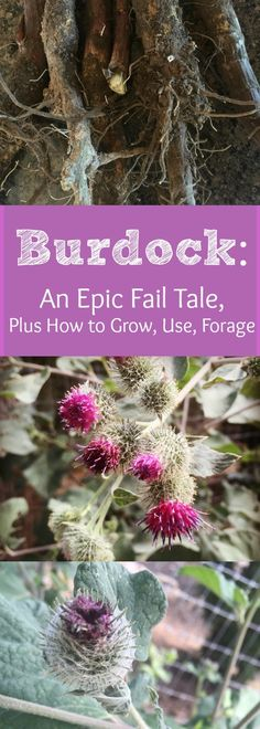 Flowering Burdock---Yep, its too late for those roots now, as I sadly found out! Find out how to grow, use, and forage for Burdock!