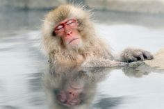 A Japanese snow monkey relaxes in a hot spring in the Jigokudani valley in northern Nagano Prefecture, Japan on Feb 10, 2012. Description from pinterest.com. I searched for this on bing.com/images