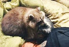 This raccoon never left the side of a cat who was dying of a tumor. The cat was comforted for the final hours of her life by her long time friend.