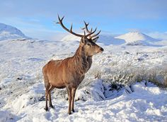 red stag in snow - Google Search