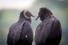 Black Vulture (Coragyps atratus) - New World Outdoor Chair Cushions, Buzzard, Birds Of Prey, Old World, Photo Credit, Scary, Old Things, Animals, Black