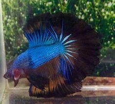 #13 Thai Import Fancy Multicolor Blue OHM Over Halfmoon Male Betta Live Fish
